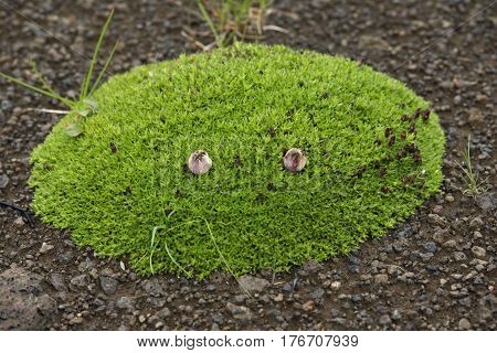 tussock with green grass growing on volcanic lava in Iceland