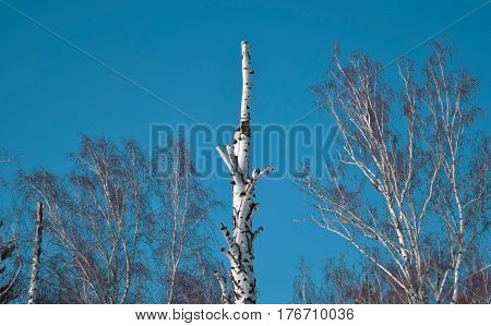 Dead birch in winter Siberian forest. Novosibirsk.