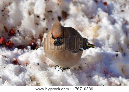Lonely waxwing bird on snow eating berries. Central Siberian Botanical Garden Akademgorodok Novosibirsk Russia. March 2017.