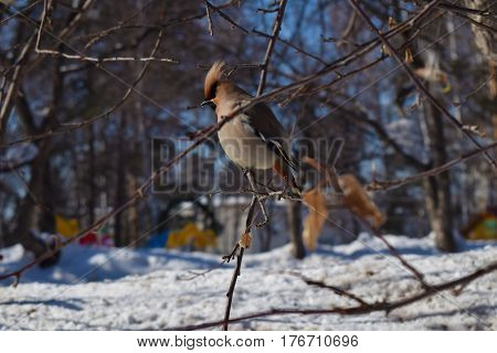 Lonely Waxwing Bird Seating On Branch. Central Siberian Botanical Garden, Akademgorodok, Novosibirsk