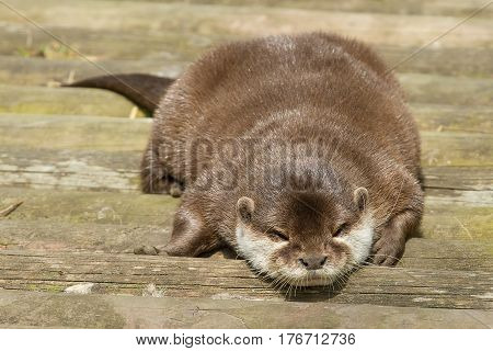 photo of a cute otter resting in the sunshine