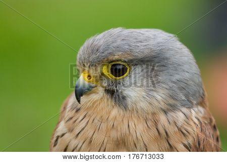 photo portrait of an alert little common Kestrel
