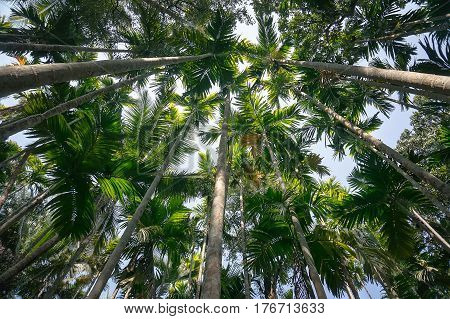 Green tall palm trees tower against the blue sky. A thick palm forest to tropical jungle. Bottom view of high palm trees.