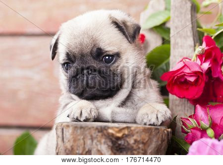 pug Puppy and flowers in retro backgraun