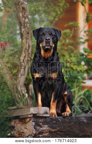 one rottweiler dog posing outdoors in summer