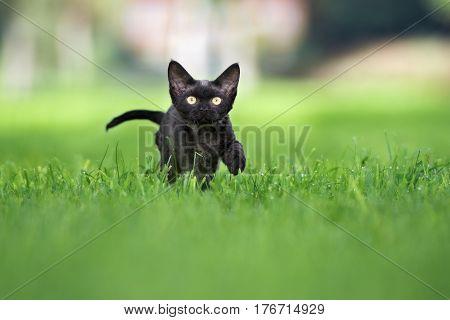 adorable black devon rex kitten outdoors in spring