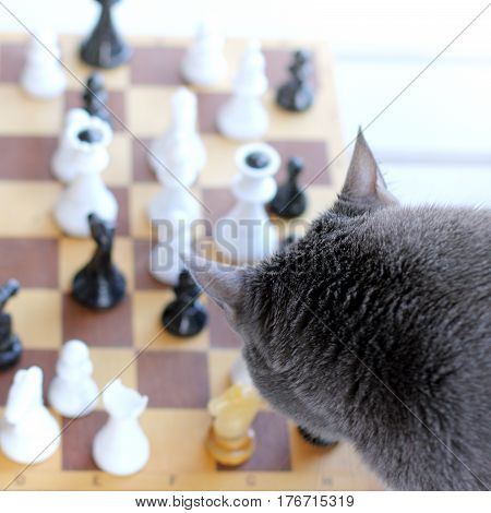 Silhouette of a cat looking at a chessboard with figures top view / gray queen starts his game