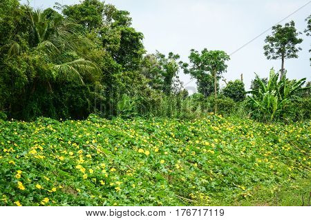 Luffa Acutangula Plants And Flowers At Plantation