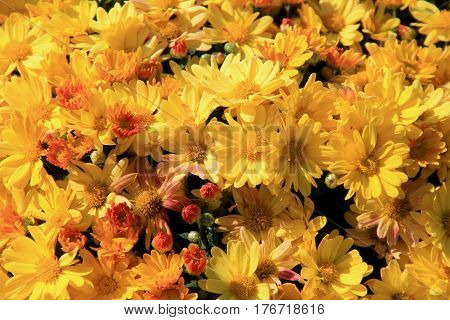 Beautiful background of colorful yellow mums, some just budding and others open to warm sunshine