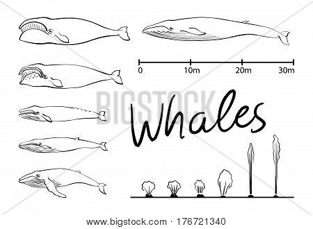 Silhouettes of whale, blue whale sea animals isolated black and white vector illustration minimal style