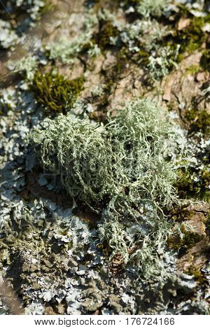 Oak Moss Lichen latin name Evernia prunastri clinging to a tree trunk a common lichen found throughout the northern hemisphere