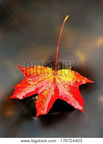 Autumn Nature. Detail Of Rotten Orange Red  Maple Leaf. Fall Leaf On Stone