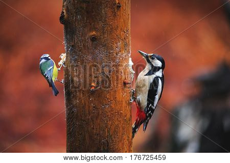 Blue Tit Bird And Woodpecker Close-up