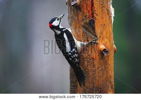 Great Spotted Woodpecker In A Rainy Spring Forest