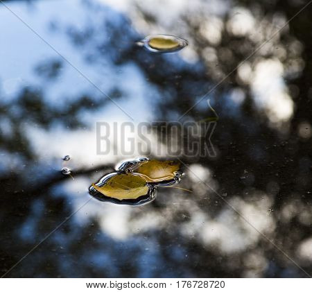 Small Yellow autumnal Leaves floating in Puddle after Rain with blue cloudy Sky reflection. Fall Mood theme Background