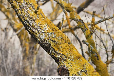 branch of dead tree with yellow moss