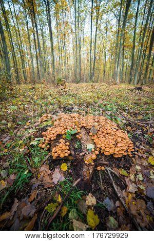 mushrooms sulphur tuft grow around the trunk