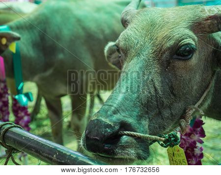 Save cattle at slaughterhouse, release them to farm