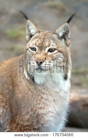 Animal lynx of the cat family close up
