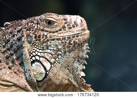 A large herbivorous lizard of the American iguana or green