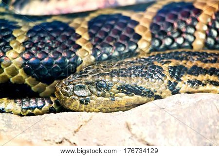 Head of the Paraguayan anaconda close up