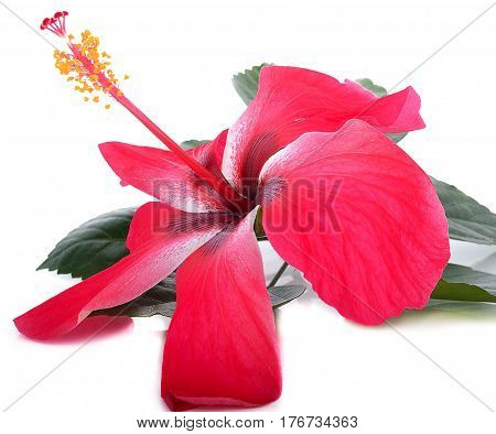 Flowering Hibiscus. Isolated on white. blossom, pollen, flora, bush, twig, pistil, growth, plant,