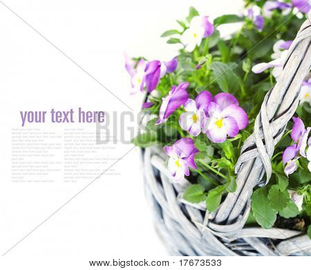close-up of colourful viola flowers in a basket with sample text