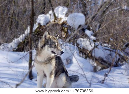 Wolf in the thicket of the forest