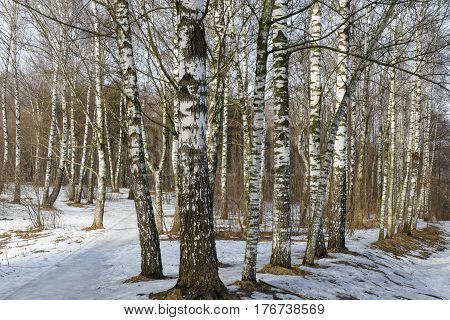 Birch forest in spring, Russia, day, sun , cold