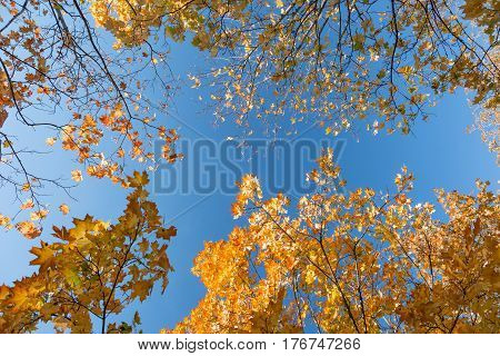 Maple tree Branches with red and orange autumnal dry Leaves and Blue sky. Upward View with copy space