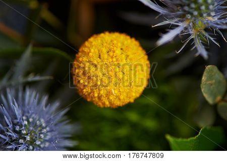 Kraspediya spherical yellow. Close. Green and yellow