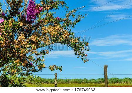 a wooden fence and brazilian flower (bougainvillea-primavera)