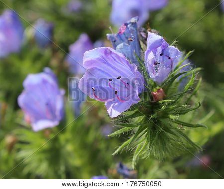 The delicate blue flowers of Echium vulgare 'Blue Bedder', also known as vipers bugloss or annual borage.
