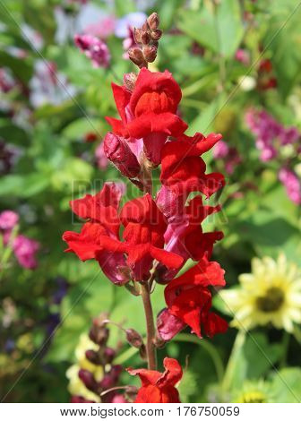The bright red flowerhead of Antirrihnum majus also known as snapdragon or dragon flower.