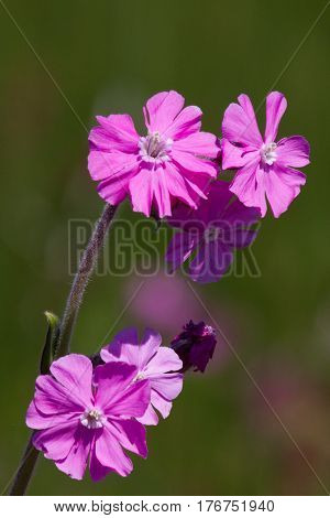 Red Campion on Skomer Pembrokeshire - it covers the island in June