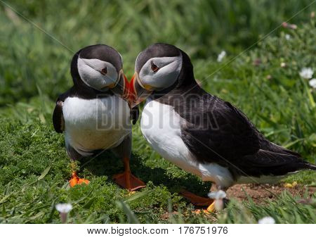 Two Puffins showing affection by touching beaks