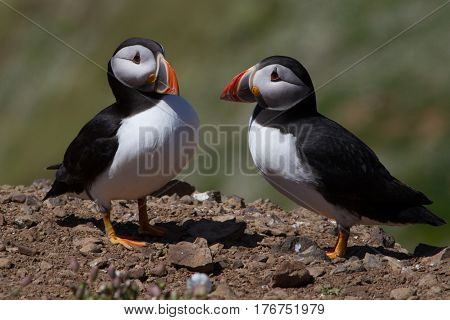 Two Puffins showing affection on the cliffs of Skomer