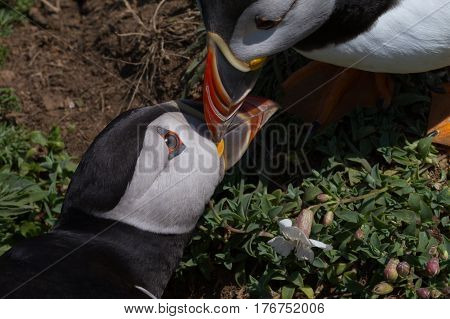 Two Puffins showing affection by knocking beaks