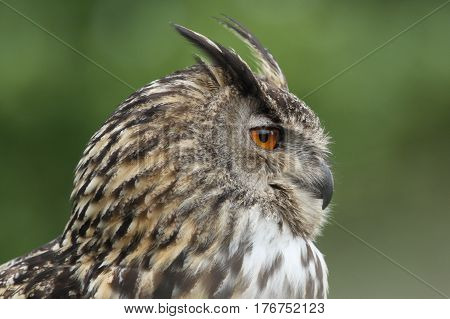 Profile of an Eagle Owl - a large raptor