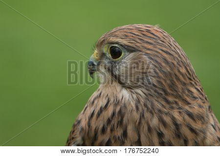 Close view of a Kestrel that would normally be sees hovering