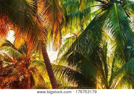 Coconut Palm Tree Leaves Background