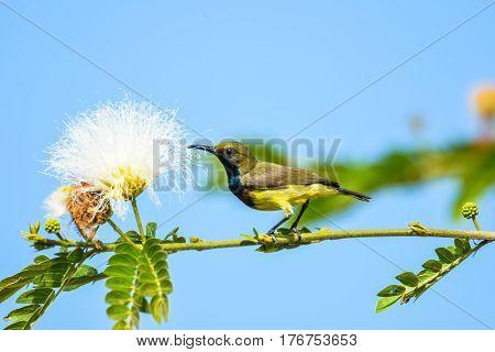 Olive-backed sunbird holding brach to eat white flower nectar