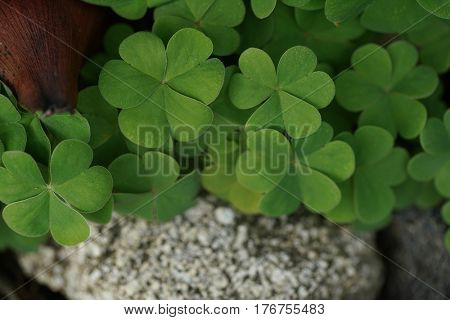 Beautiful clover leaves background shot in natural environment. Close-up, shallow DOF.
