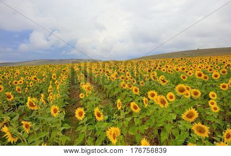 Sunflower in a wheat field and cloudy skies