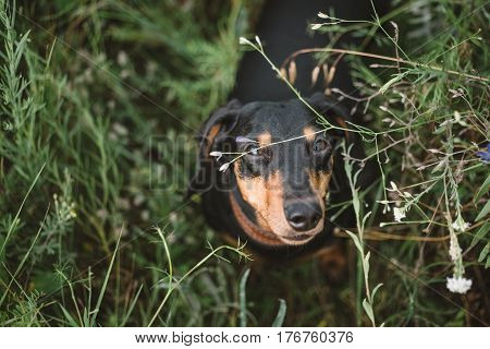 Curious dog looks at the camera waiting for the command. Small dog sits in field flowers.