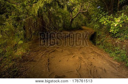 Very bumpy levada trail on Madeira Portugal. There are may branches and roots of rain forest on the way. Vibrant green adds mystical climate to the scenery