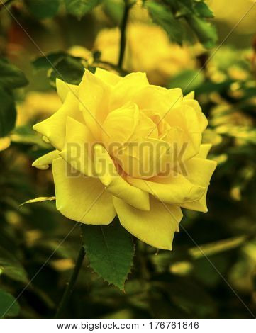 yellow roses. Beautiful yellow rose flower in a garden. rose flower