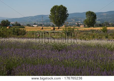 Photo of Umbria countryside with lavender field, Italy