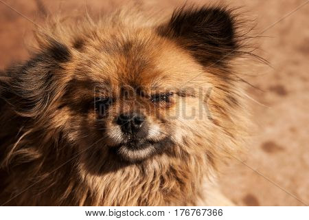 Head of a messy hairy little dog with closed teared eyes and black nose in the afternoon at a farm in China Asia.