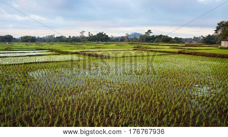 panoramic agriculture view of green rice fields at midday with nobody around Bajawa Ruteng Indonesia.